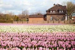 Campo hermoso del jacinto Fotos de archivo