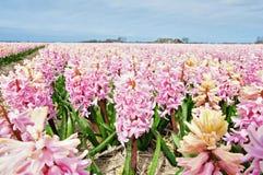 Campo hermoso del jacinto Imagen de archivo libre de regalías