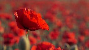 Campo hermoso Poppy Swaying On Breeze