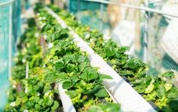 Campo hidropônico orgânico da morango Fotografia de Stock Royalty Free