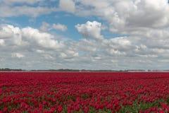 Campo holandés del bulbo con los tulipanes rojos Foto de archivo libre de regalías