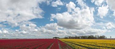Campo holandés del bulbo con los tulipanes rojos y amarillos Foto de archivo