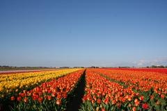 Campo holandés del tulipán foto de archivo