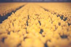 Campo holandês da tulipa com as tulipas amarelas no estilo do vintage Imagem de Stock Royalty Free