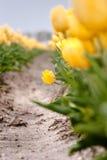 Campo holandês da tulipa com tulipas amarelas Fotos de Stock