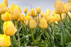 Campo holandês da tulipa com tulipas amarelas Foto de Stock