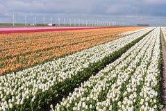 Campo holandês de tulips coloridos com moinhos de vento Fotografia de Stock Royalty Free