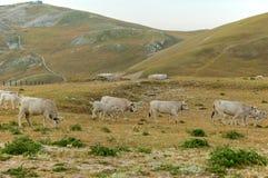 Campo Imperatore, pasto gramíneo, vacas, Abruzzo, Itália Imagens de Stock