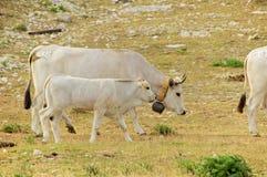 Campo Imperatore, pasto gramíneo, vacas, Abruzzo, Itália Fotografia de Stock Royalty Free