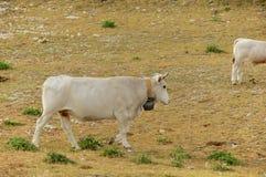 Campo Imperatore, pasto gramíneo, vacas, Abruzzo, Itália Foto de Stock