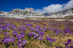 Campo Imperatore with violet crocus flowering Stock Image