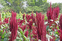 Campo indio del amaranto rojo Foto de archivo libre de regalías