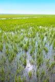 Campo indio del arroz, la India Imagenes de archivo