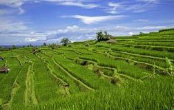 Campo indonesio del arroz fotos de archivo libres de regalías