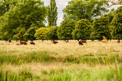Campo inglés con las vacas marrones que pastan Imágenes de archivo libres de regalías