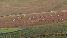 Campo inglês: pasto dos carneiros da manhã Fotografia de Stock Royalty Free