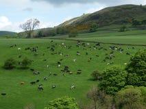 Campo inglese con le mucche Fotografia Stock