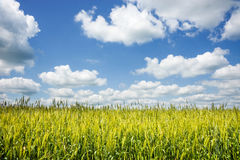 Campo inmaduro verde de la cebada en el día soleado del verano Foto de archivo
