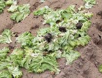 campo inquinante abbandonato foglie del lattuce della putrefazione fotografia stock