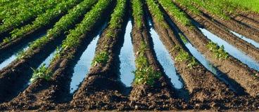 Campo inundado com plantas de batatas - mola chuvosa Imagem de Stock