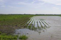 Campo inundado do feijão imagem de stock
