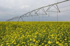 Campo irrigato da un sistema antincendio del perno su giallo di fioritura immagine stock