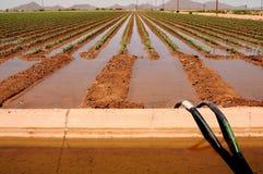 Campo irrigato del cotone immagine stock