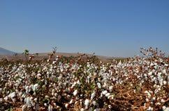 Campo israeliano del cotone immagine stock