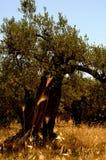Campo italiano, oliveira temporal Fotografia de Stock Royalty Free