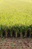 Campo japonés del arroz Imagenes de archivo