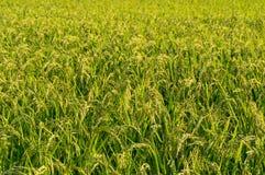 Campo japonés del arroz del campo Imagen de archivo