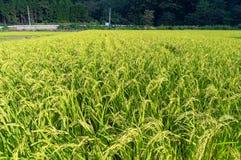 Campo japonés del arroz del campo Imagen de archivo libre de regalías