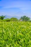Campo japonés del té verde con Fuji Fotos de archivo