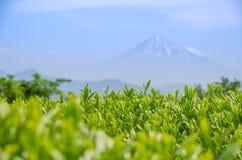 Campo japonés del té verde con Fuji Imagen de archivo libre de regalías