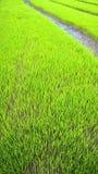Campo joven del arroz Imagenes de archivo