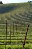 Campo joven del vino Imagen de archivo libre de regalías