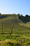 Campo joven del vino Fotografía de archivo libre de regalías