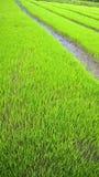 Campo joven joven del arroz Fotografía de archivo