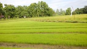 Campo joven joven del arroz Fotos de archivo libres de regalías