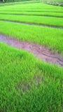 Campo joven joven del arroz Foto de archivo libre de regalías