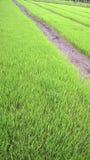 Campo joven joven del arroz Fotografía de archivo libre de regalías