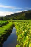 Campo Kauai Hawaii del taro Foto de archivo libre de regalías