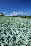 Campo Konjac e céu azul Fotos de Stock Royalty Free