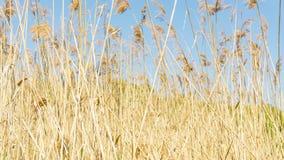 Campo a lamella dorato e cielo blu senza nuvole fotografia stock libera da diritti
