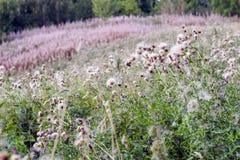 Campo lanuginoso del cardo selvatico in Hampstead Heath di Londra fotografia stock