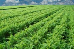 Campo largo de la zanahoria Foto de archivo libre de regalías