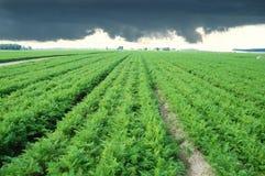 Campo largo de la zanahoria Fotografía de archivo