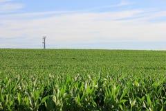 Campo lindo da colheita saudável do milho Fotos de Stock