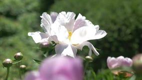 Campo lindo de flores de florescência das peônias no tempo de mola da manhã Grupo de plantas cor-de-rosa no fundo do jardim verde video estoque