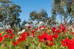 Campo livellato dell'anemone della terra Fotografia Stock